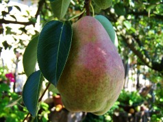 pear-940969_960_720